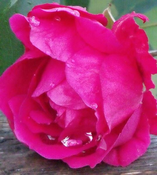 rose by kibp