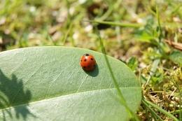 Ladybird on a leaf.