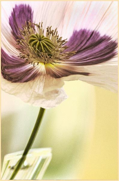 lilac poppy by dormay