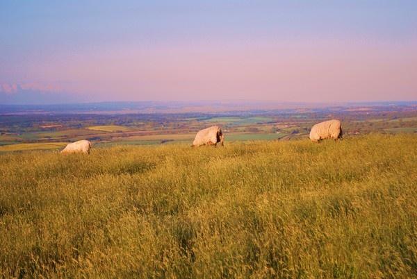South Downs Sheep by mrfmilo