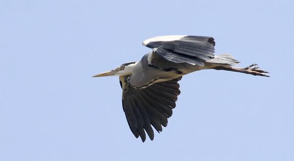 Heron by Mandi