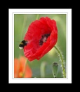 Another Poppy by jamsa