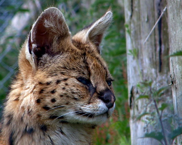 Serval Kitten by eddieali1961
