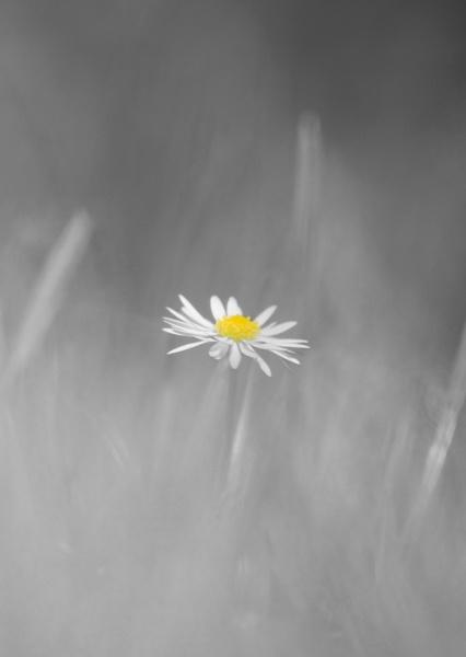 Daisy by Varanus