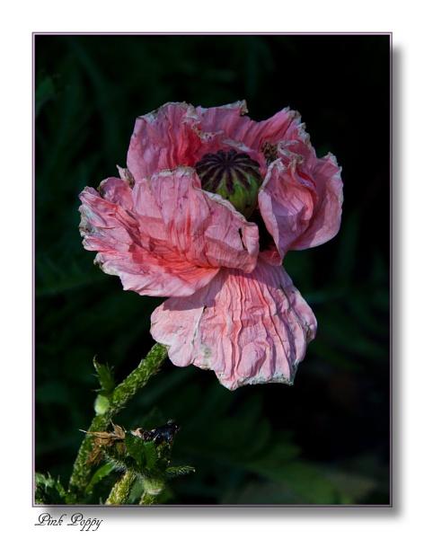 Poppy by morpheus1955