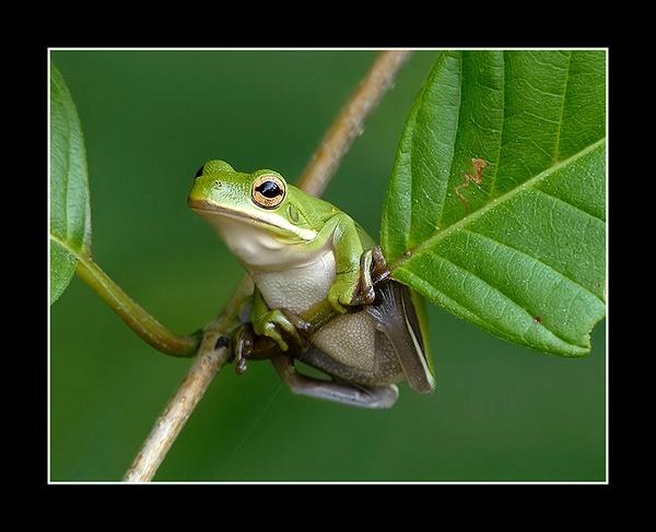 Green Tree Frog by Bertadd