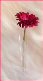 And another Gerbera