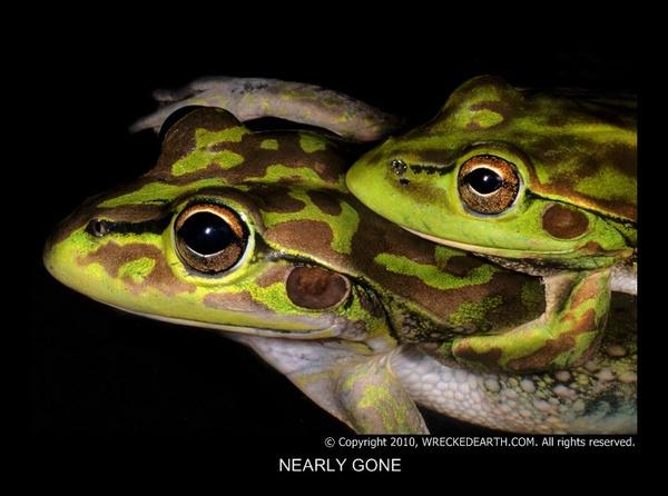 Bell frogs by Birte