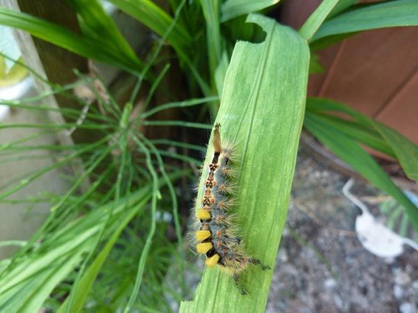 Catterpillar by chocky