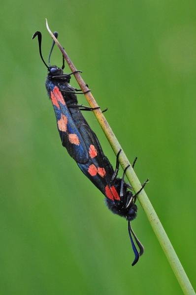 burnet moths by baxster