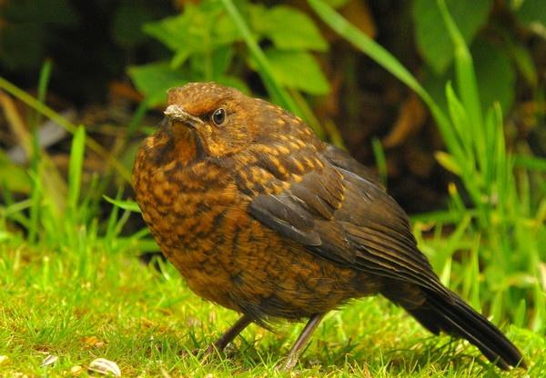 Ginger Baby blackbird by tobara17