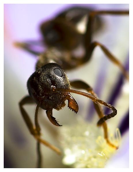 Formicidae (ant) by DanielDCP