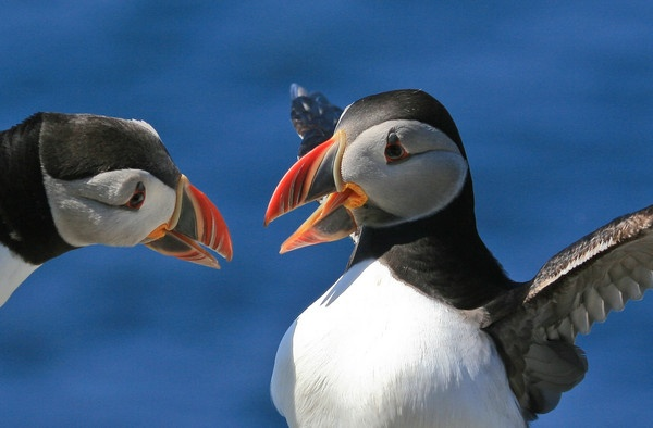 BIll fencing puffins by hannapple