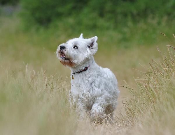 West Highland Terrier by DannoM