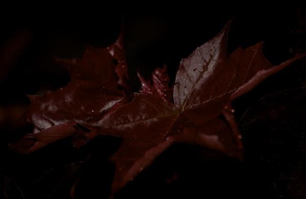Maple leafs by Kriikuna