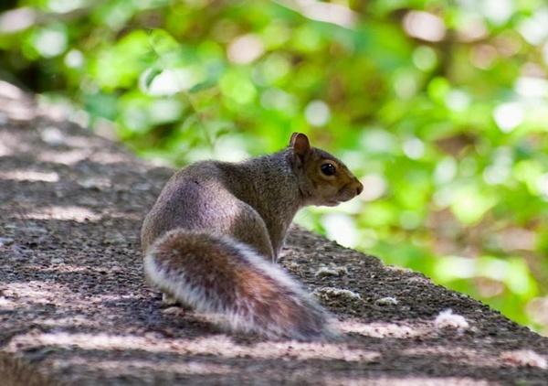 squirrel on the run by HuntedDragon