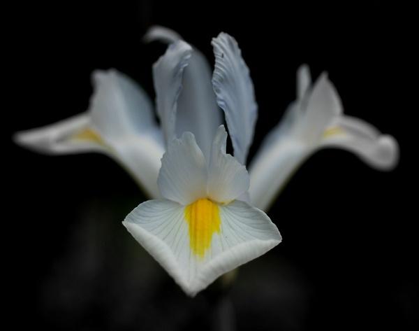 iris by Ginamagnolia
