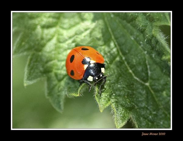 Three-spot Ladybird by Snapitt