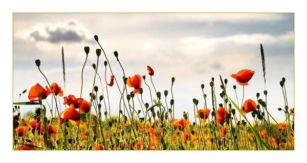 Poppy Field by Kot
