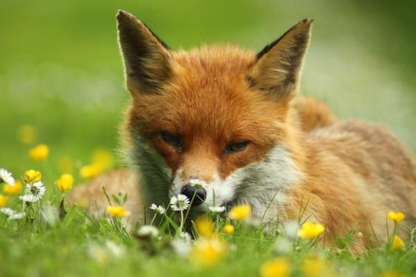 Fox by Tom10