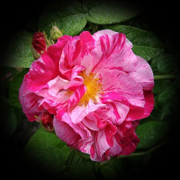 "\""Rosa Mundi\"" by RonnieAG"