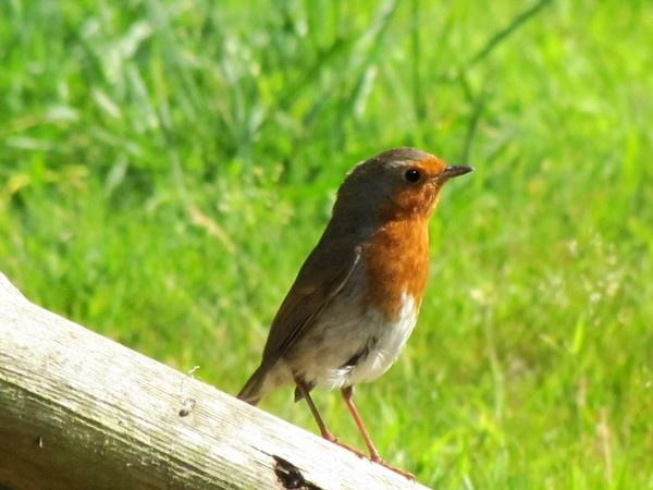 Robin by HarveySquires