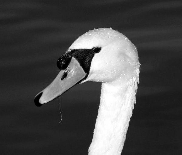 Swan by Pentaxpaul