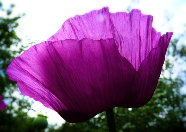 Poppy in my garden by kittlekottage