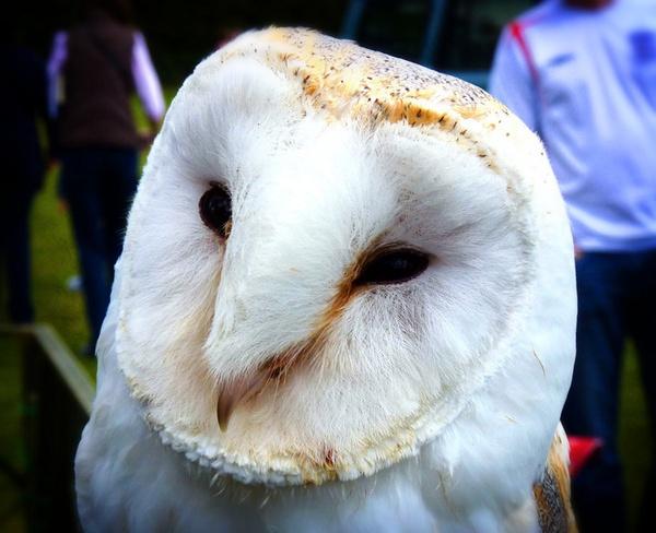That Sweet little barn owl at Worlington by kittlekottage