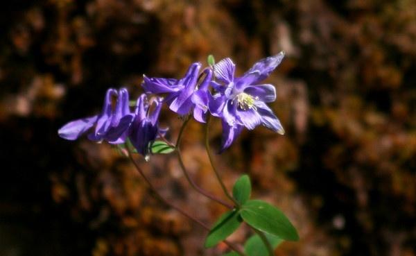 Wild Blue Aquilegias by mahbrook