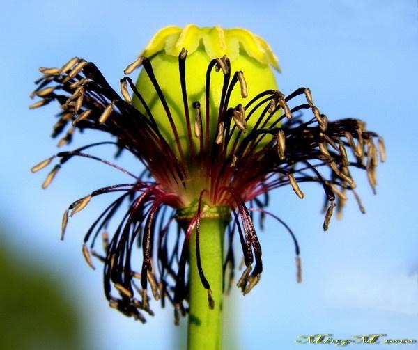 Poppy Seedhead by MingM