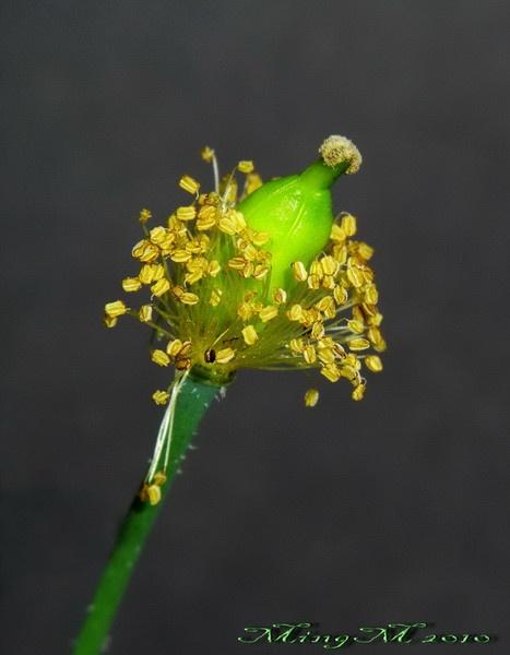 Poppy Seedhead 2 by MingM