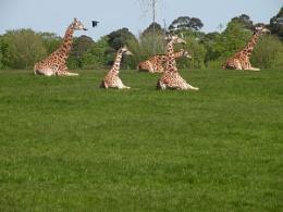 Ring of Giraffes
