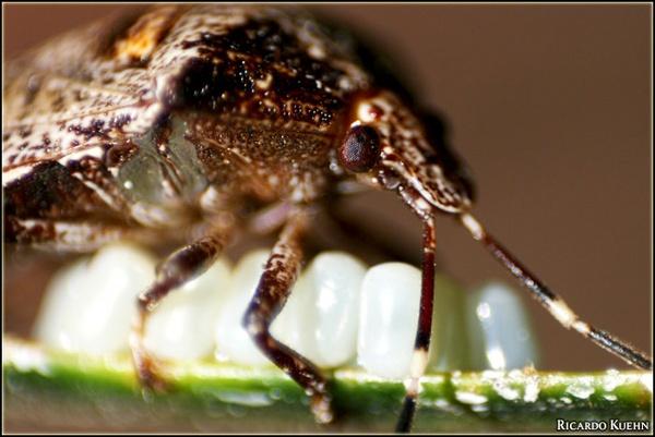 Heteroptera by ryyck