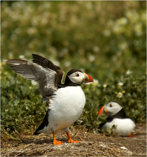 Puffins by MikeH