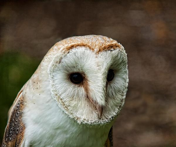 Barn Owl by royd63uk