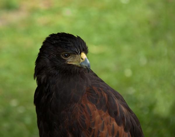 Harris Hawk by royd63uk
