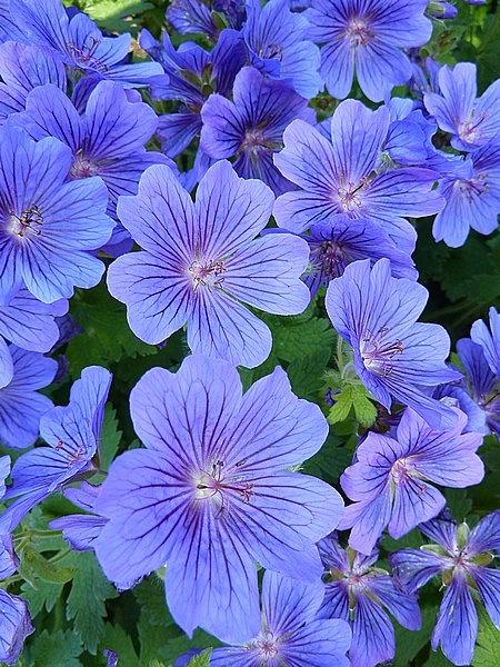 Blue Geraniums by BarbaraR