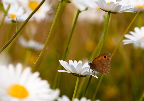 Daisy & Butterfly by joss