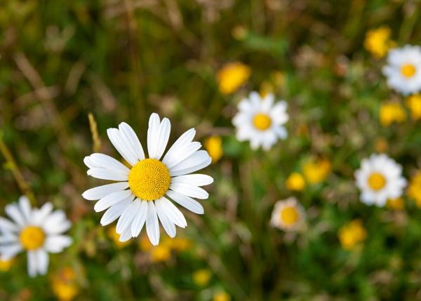 Wild Daisy\'s by joss