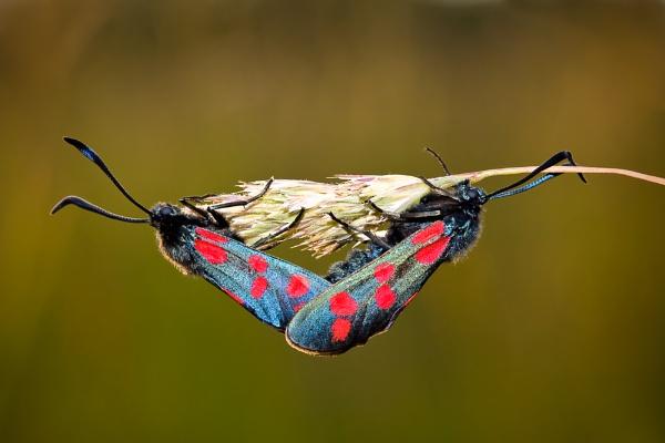 Six Spot Burnet Moths by Paintman