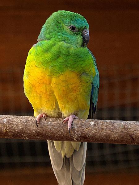 Redrump Parakeet by ringyneck
