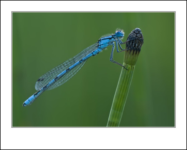 Damselfly by barnowls