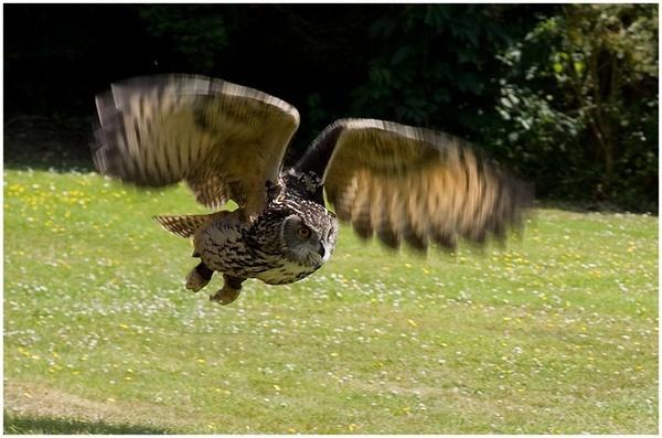 Owl in Flight by ednys