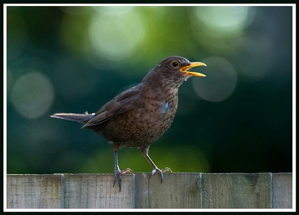 Blackbird by dnwilliams