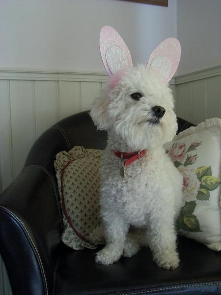 Did I see a bichon with ears like mine? by mars