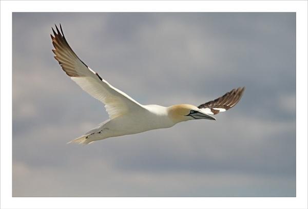 Gannet in flight by JCRAWFORD