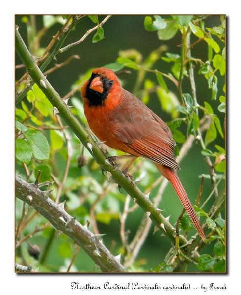 Northern Cardinal (Cardinalis cardinalis) by teocali