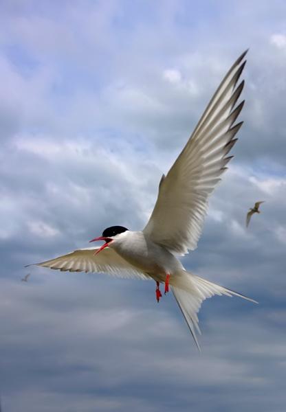 Arctic Tern by nigelpye