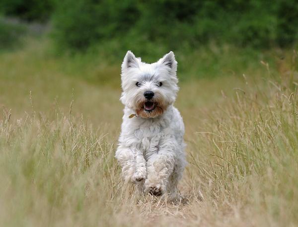 West Highland Terrier II by DannoM